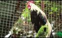 Chi 65 triệu đồng mua gà Nhật đuôi siêu dài về chơi Tết