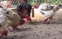 Ngắm đàn gà Đông Tảo đắt giá như vàng