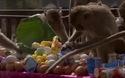 Hài hước xem khỉ lấy cắp tóc người để... làm vệ sinh răng miệng