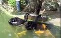 Sự sẻ chia giữa thiên nga đen và bầy cá chép