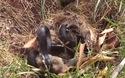 Thỏ mẹ liều mình tấn công rắn để trả thù cho con
