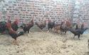 """Gần chục triệu một con gà 9 cựa """"tiến Vua"""" cúng Tết"""