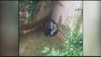Sở thú Mỹ bắn chết khỉ đột quý hiếm để cứu bé trai 4 tuổi rơi vào chuồng khỉ