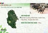 Nông nghiệp sạch: Lợn rừng lai sản phẩm nông nghiệp tỉnh Phú Thọ