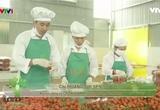 Nông nghiệp sạch: Cà chua bi sản lồng kính phẩm nông nghiệp tỉnh Hòa Bình