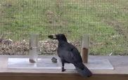 Quạ - loài chim thông minh còn hơn cả linh trưởng