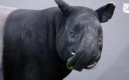 """Gặp gỡ loài lợn """"vô đối"""" trong tự nhiên nhưng sắp bị tuyệt chủng vì con người"""