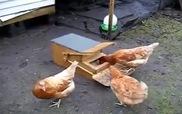Chiếc máy vô cùng sáng tạo cho gà ăn