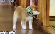 Cún Akita dễ thương nhất quả đất