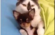 Cún tí hon ngoan ngoãn bên mèo khổng lồ