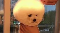 Chú cún con vô cùng đáng yêu khi được tỉa lông