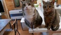 Khuôn mặt háu ăn của 2 chú mèo nhà Maru
