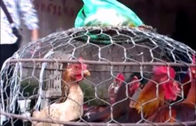 Kinh hoàng công nghệ nhuộm gà vàng ruộm bằng… bột sắt