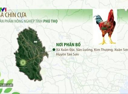 Nông nghiệp sạch: Gà chín cựa sản phẩm nông nghiệp tỉnh Phú Thọ